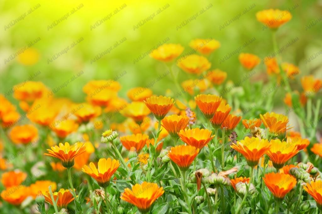 Ноготки цветы картинки 7
